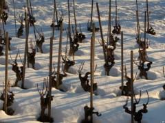 vigne-hiver.jpg